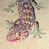Gecko-Rond